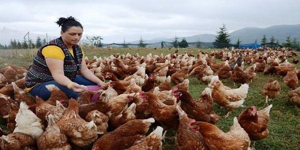 Salma Tavukçuluk Nasıl Yapılır? Ne kadar Kazandırır?